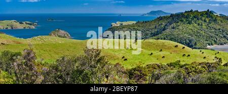 Cattle and sheep grazing on hills above Manaia Harbour, Manaia Road, west side of Coromandel Peninsula, Waikato Region, North Island, New Zealand - Stock Photo