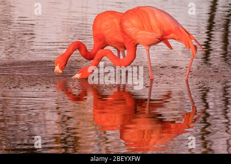 Greater flamingo (Phoenicopterus roseus) in bright pink colour,  wading bird reflected in lake water at sunset - Stock Photo