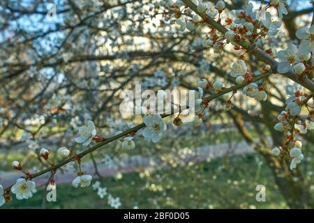 plum full blossom and the background of the blue sky ,white flowers in the spring - Stock Photo