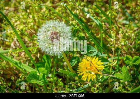 Horizontal shot of a dandelion bloom and a flower next to each other in greenery. - Stock Photo