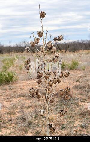 Dry brown Yucca Plant blooms against winter desert landscape. Texas