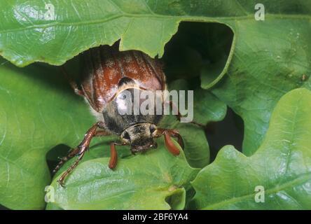 Common cockchafer, Maybug, Maybeetle (Melolontha melolontha), feeds on oak