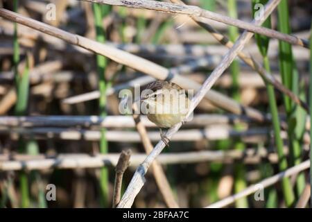 Sedge Warbler, Acrocephalus schoenobaenus, in a reed bed, Mid Wales, uk - Stock Photo