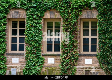 Princeton, NJ, USA - June 16, 2019: creeping plants, ivy on the walls of educational buildings at Princeton University, plants and landscape design - Stock Photo
