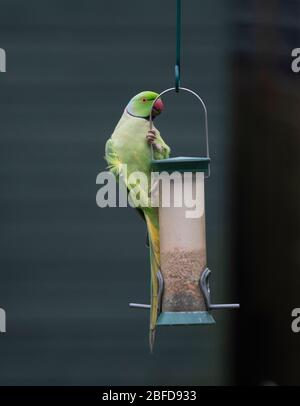 Rosy Ringed Parakeet balancing on a bird feeder against a dark background - Stock Photo
