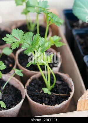 Celeriac seedlings biodegradable peat planting pots