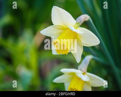 Daffodills in spring. - Stock Photo