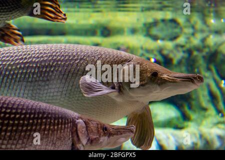 alligator gar is a ray-finned euryhaline fish related to the bowfin in the infraclass Holostei. It is the largest species in the gar family - Stock Photo