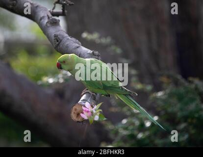 Rosy Ringed Parakeet balancing on an apple tree branch - Stock Photo