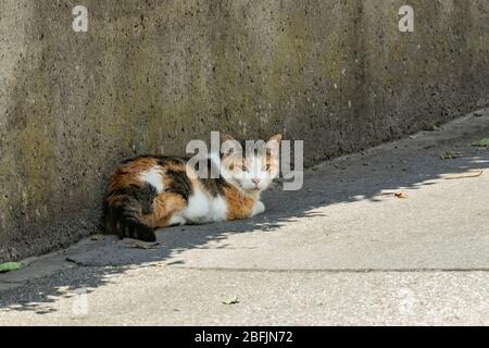 A half-asleep calico cat rests peacefully in a shade near a high concrete fence on the edge of an asphalt road. Stock Photo