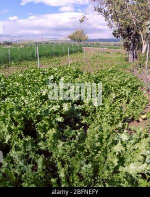 endive field in Sicily