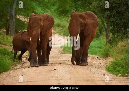 Elephants trotting along and coming opposite on a dirt road - Stock Photo