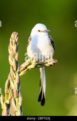 Scissor-tailed Flycatcher (Tyrannus forficatus), Dallas, Texas - Stock Photo