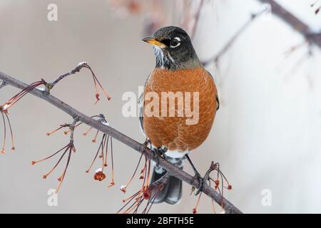 American Robin (Turdus migratorius) in Winter, Missoula, Montana