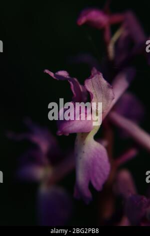 A close up of a small wild pink orchid, orchis mascula or the Early purple orchid - Stock Photo