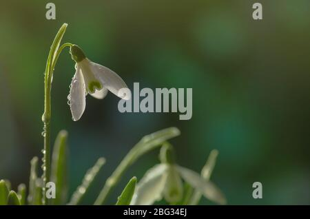 Spring snowdrops with dew drops on flowers. Snowdrops in sparkling drops of dew - Stock Photo