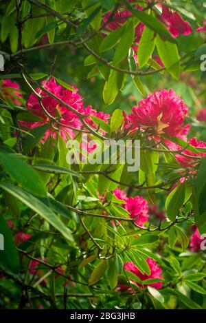 Magenta Rhododendrons in a Sunny Garden in Spring in Scotland - Stock Photo