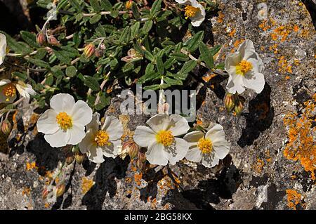 Wild White Rock- rose against lichen covered rocks  on Brean Down, Somerset