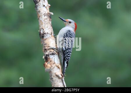 Female Red Bellied Woodpecker Melanerpes carolinus perching on a birch branch - Stock Photo