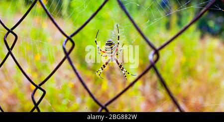 Yellow striped spider weaved a web on a metal grid close-up. - Stock Photo