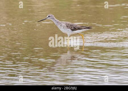 The greater yellow legged sandpiper wading in the Galveston Bay, Texas - Stock Photo