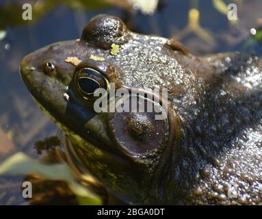 A close-up of a male American bullfrog (Lithobates catesbeianus), showing the prominent tympanum. Taken at edge of Watsonville Slough in California