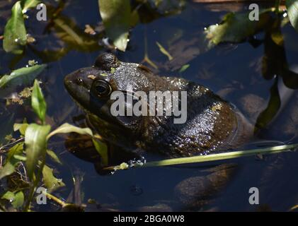 A male American bullfrog (Lithobates catesbeianus), in the shallow water at the edge of Watsonville Slough in California. - Stock Photo