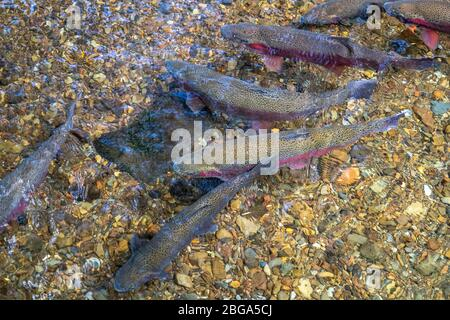 Wild trout in clear running water, Tongariro National Trout Centre, Tūrangi, North Island New Zealand - Stock Photo