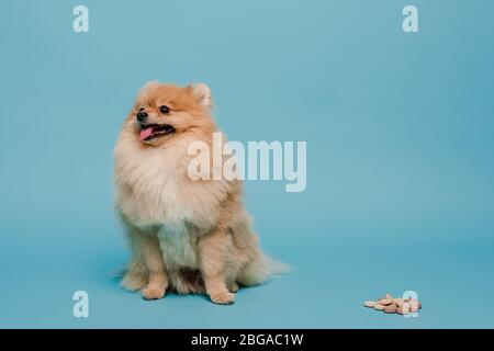 cute pomeranian spitz dog with tablets on blue - Stock Photo