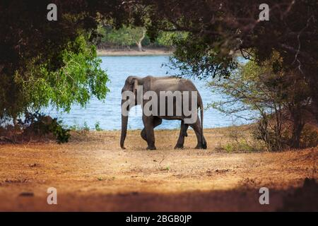 Small elephant surrounded by nature. Around him vegetation and trees. Behind him, a lake of water. Location: Minneriya. Sri Lanka. - Stock Photo