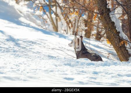 Young italian wolf (canis lupus italicus) in maritime alps natural park (Piedmont, Italy), walking in the snow - Stock Photo