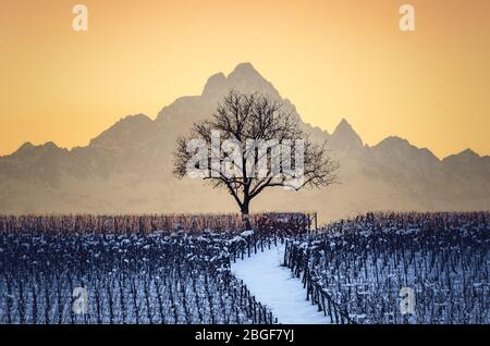 Sunset in winter over the hills of Barolo (Langhe, Piedmont, Italy) with snow in the vineyards, a bare tree and the Mount Viso (Monviso) - Stock Photo