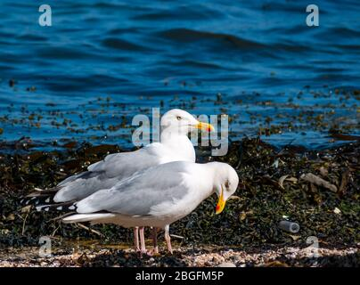 North Berwick, East Lothian, Scotland, United Kingdom. 21st April 2020.  A pair of herring gulls (Larus argentatus) on the shoreline of East beach in Milsey bay - Stock Photo