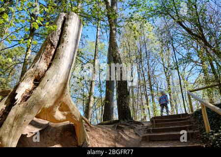 Beautiful sunny scenery in springtime forest with tree stump and rear view of child walking up the stairs of a footpath. Seen in Germany in April. - Stock Photo