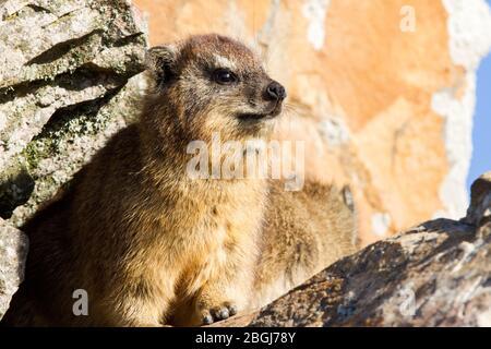 Dassie or rock Hyrax looking for food in dustbin, hermanus, south africa - Stock Photo