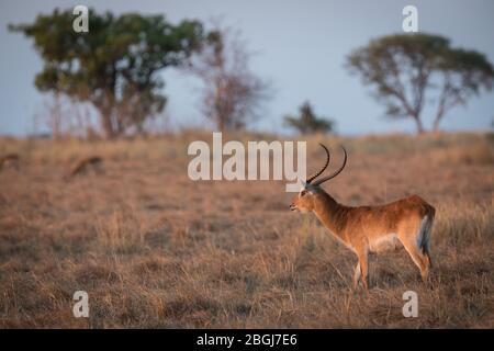 Busanga Plains, exclusive safari destination in Kafue National Park, North-Western, Zambia, is where abundant herds of lechwe, Kobus leche graze.