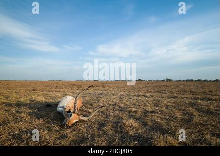Busanga Plains, an exclusive safari destination in Kafue National Park, North Western, Zambia, has abundant herds of lechwe, Kobus leche