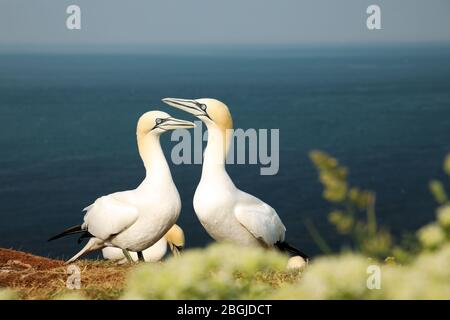 Two northern gannet performing dance  in breeding colony at Helgoland island, Germany (Morus bassanus) - Stock Photo
