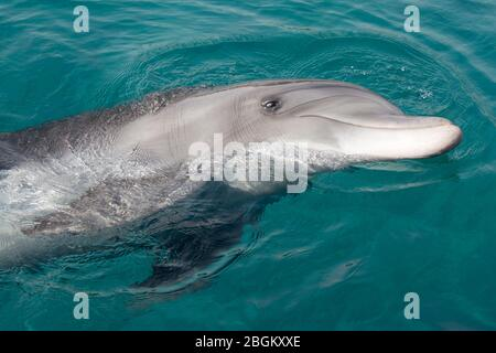Bottlenose dolphin swimming on its side in the Red Sea (Tursiops truncatus) - Stock Photo