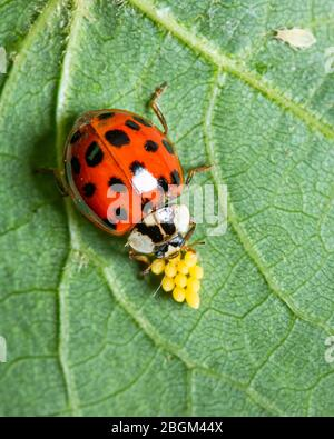 An adult Asian ladybeetle (Harmonia axyridis, Coccinellidae) sitting on a leaf with yellow eggs - Stock Photo