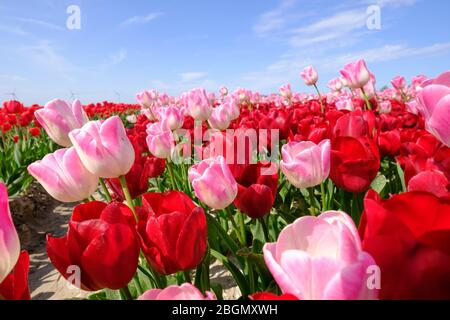 Red and longer pink tulips in one field, with wide angle lense from below, very nice blue cloudy sky in the Netherlands. windmills in the background. - Stock Photo