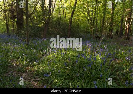 Native Bluebells Hyacinthoides non-scripta, wild hyacinth at height of flowering season beneath newly forming leaves of beech ash chestnut trees - Stock Photo