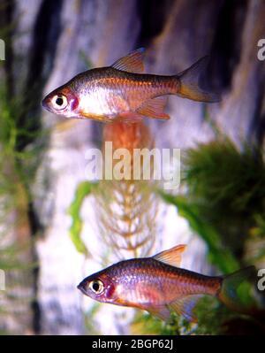 Orange-finned rasbora, Rasbora vaterifloris - Stock Photo