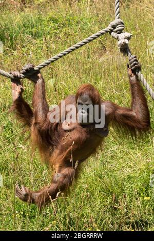 Female Sumatran Orangutan, Pongo abelii, at Jersey Zoo - Durrell Wildlife Conservation Trust, Channel Isles - Stock Photo