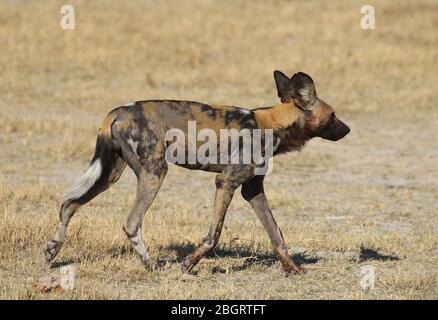 Botswana Painted dogs - Stock Photo