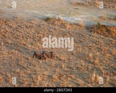 Aerial view of a pair of White Rhinoceros, Ceratotherium simum, in the Okavango Delta, Botswana, South Africa. - Stock Photo