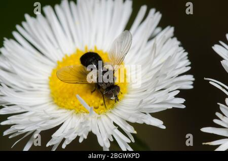 Tachinid Fly, Besseria atra, foraging on Fleabane, Erigeron sp. - Stock Photo