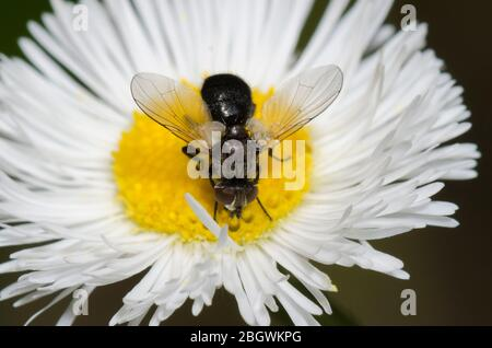 Tachinid Fly, Besseria atra, foraging on Fleabane, Erigeron sp. - Stock Photo