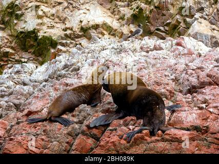 Female and male South American sea lions (Otaria flavescens) on the beach.  Also called the Southern Sea Lion and the Patagonian Sea Lion - Stock Photo