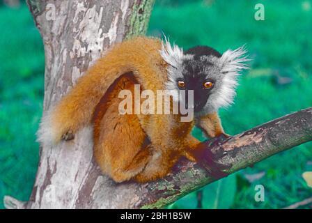 Young female Black Lemur  (Eulemur macaco,)  from North West Madagascar.